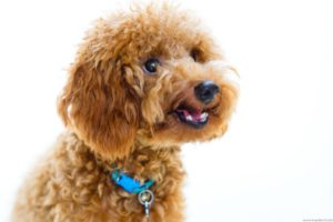 A smiling poodle. Photography by Hendra Lauw