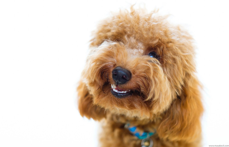 Cute portrait of a poodle - photography by Hendra Lauw